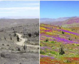Атакама, пустыня, цветы, Чили,