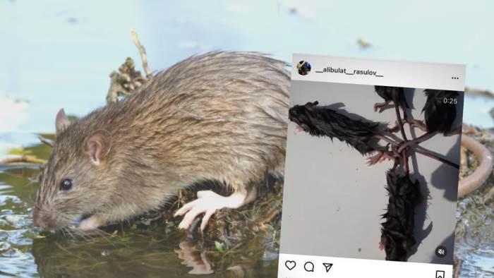 Крысиный король, крысы, хвосты, поле, король крыс,