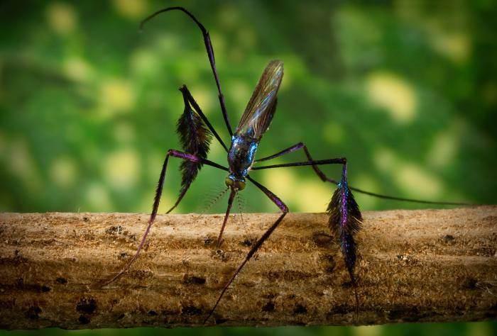 Сабет, комар,