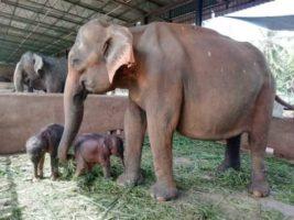 Слоны-близнецы, Шри-Ланка,