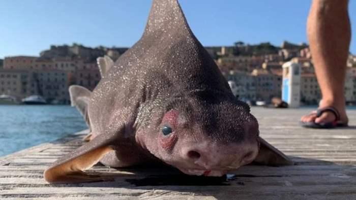 акула, рыба, свинья, акула-свинья,