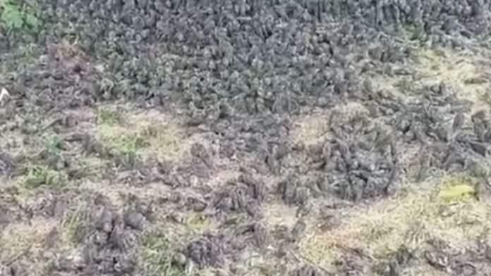 воробьи, Бали, Индонезия, смерть птиц,