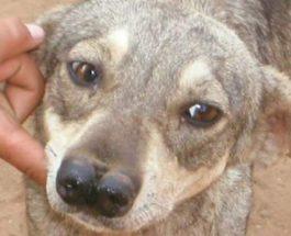 двуносая андская тигровая гончая, двуносая собака,