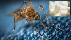 Ученые хотят кормить комаров сахаром