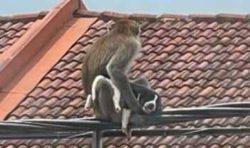 Банды диких обезьян похищают кошек и собак в Малайзии и держат их в заложниках