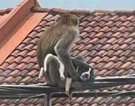 обезьяна, Малайзия, щенок,