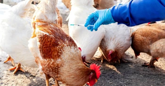 птичий грипп, Европа,