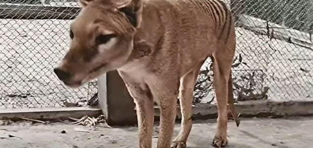 тилацин, Тасманский тигр,