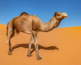 Дубай, верблюды, клонирование,