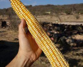 Мексика, кукуруза, початки, Джала,